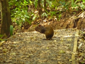 "Our ""Costa Rica"" or Agouti."