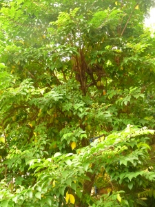 Our starfruit tree